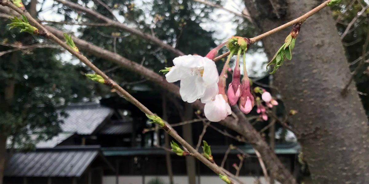 2020年 多度津町山階・春日神社 桜