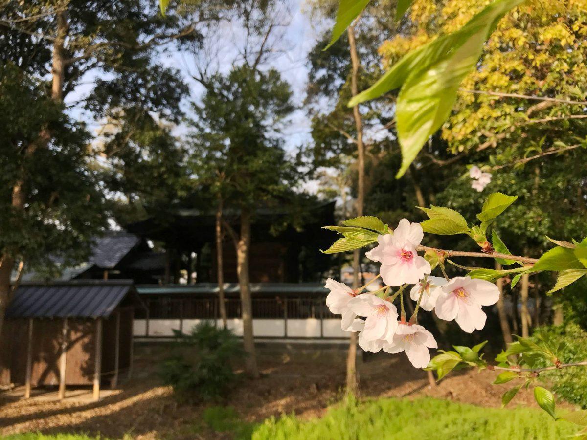 多度津町山階・春日神社 桜の木